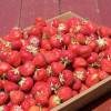 Thumbnail image for Picking Strawberries at Shelburne Farm
